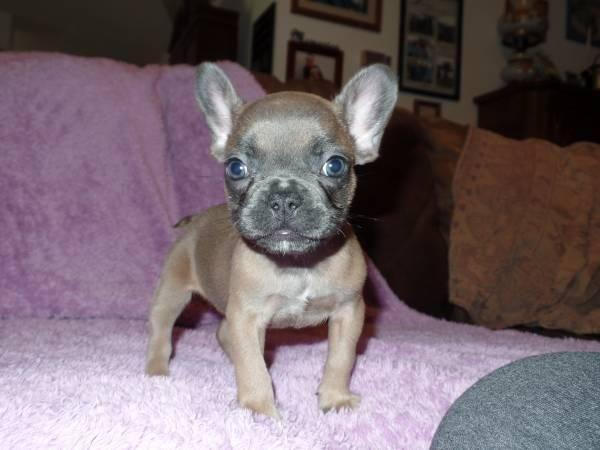 ***Reduced*** Tiny Blue Fawn Female French bulldog puppy Frenchie
