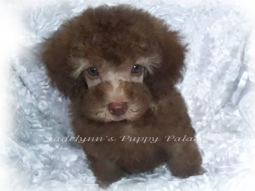 Reese Toy Poodle Male Silver Beige For Sale In Fort