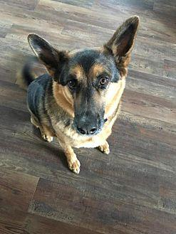 Referral-Stark German Shepherd Dog Adult Male