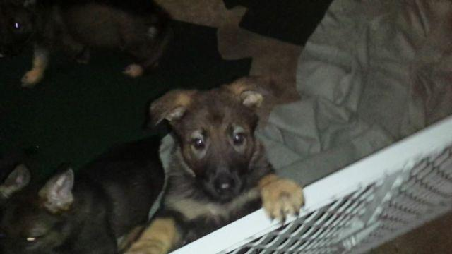 german shepherd puppies for sale in san antonio reg akc german shepherd puppies for sale in san antonio 4510