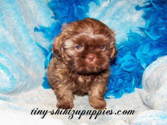 Shih Tzu For Sale In Kansas Classifieds Buy And Sell In Kansas