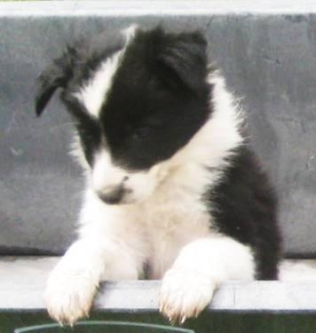Reg, Border collie puppies