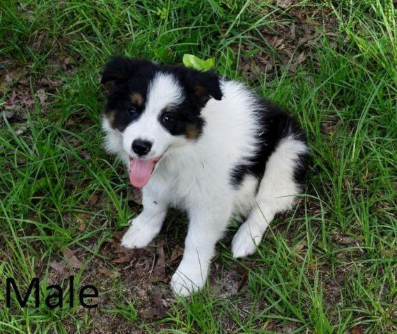 rough collie puppies for sale in Florida Classifieds & Buy