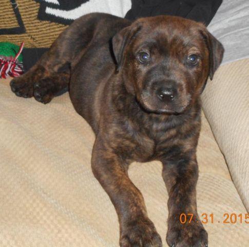 Reg Cane Corso Mastiffreg German Rottweiler For Sale In Mc