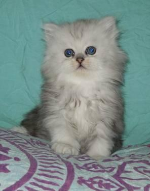 Reg. Exotic short haired persian