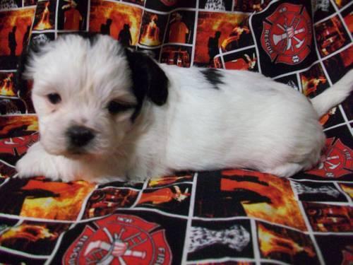meadows puppies puppies available now aka zuchon bichon shihtzu