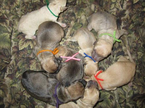 REG Mountain Feist Puppies in KY!! for Sale in Falls Of Rough