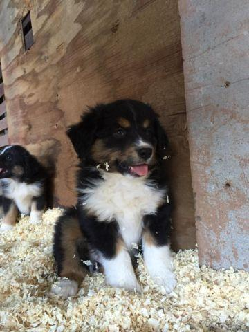 Register Australian shepherd puppies