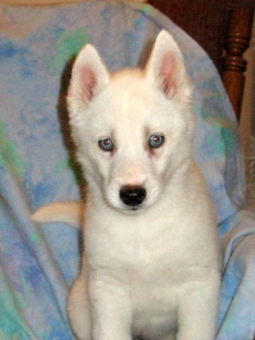 Registered Akc Siberian Female Husky Blue Eyes White Coat For Sale