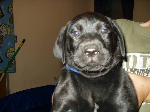 registered black lab puppies