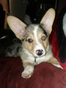Registered BLUE MERLE WELSH CORGI PUPPIES