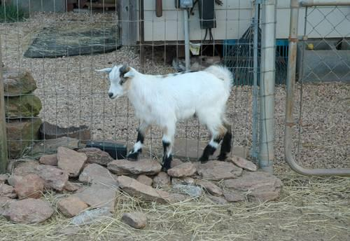 Registered Fainting Goats For Sale