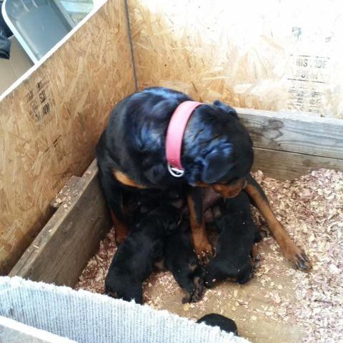 Rottweiler Puppies For Sale In Oklahoma Classifieds Buy And Sell