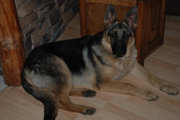 Registered German Shepherd Puppies For Sale In Grand Rapids
