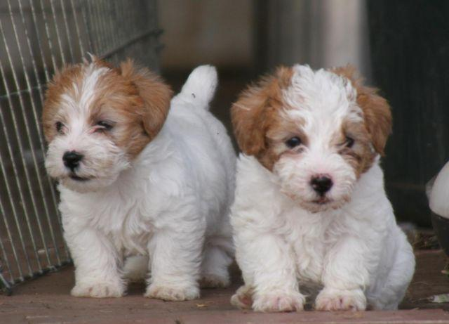 long haired jack russell terrier puppies for sale registered long haired jack russell terrier puppies for 1858