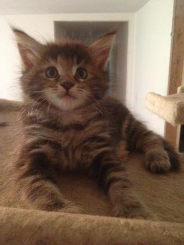 REGISTERED MAINE COON KITTEN