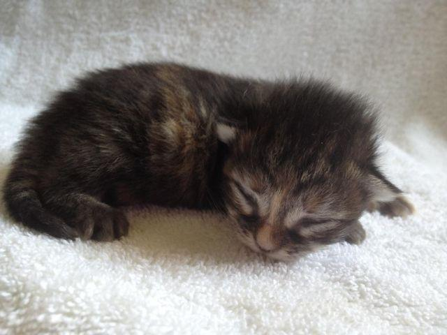 REGISTERED MAINE COON KITTEN AVAILABLE FOR ADOPTION