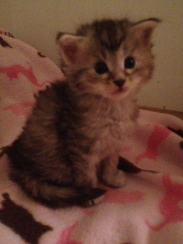 REGISTERED MAINE COON KITTEN FOR SALE