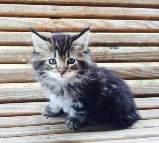 Maine Coon Cat For Sale Austin Tx