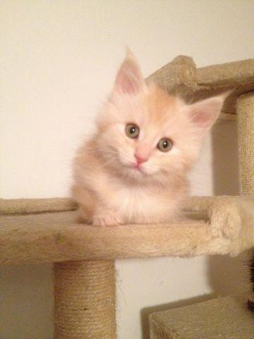 REGISTERED MAINE COON KITTENS FOR ADOPTION