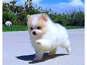 Pomeranian For Sale In Dallas Texas Classifieds Buy And Sell