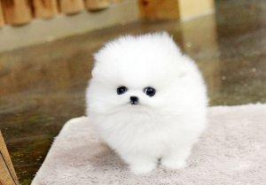 Registered Pomeranian Puppies For Re Homing For Sale In Nashville