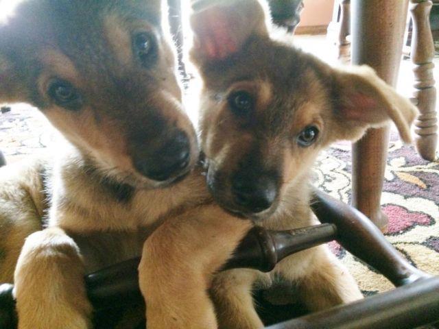 Registered Pure Breed Sable German Shepherd Puppies