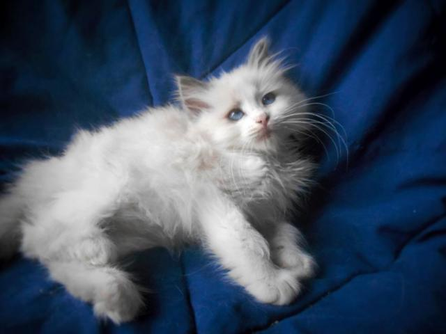 ragdoll mix kittens Pets and Animals for sale in the USA