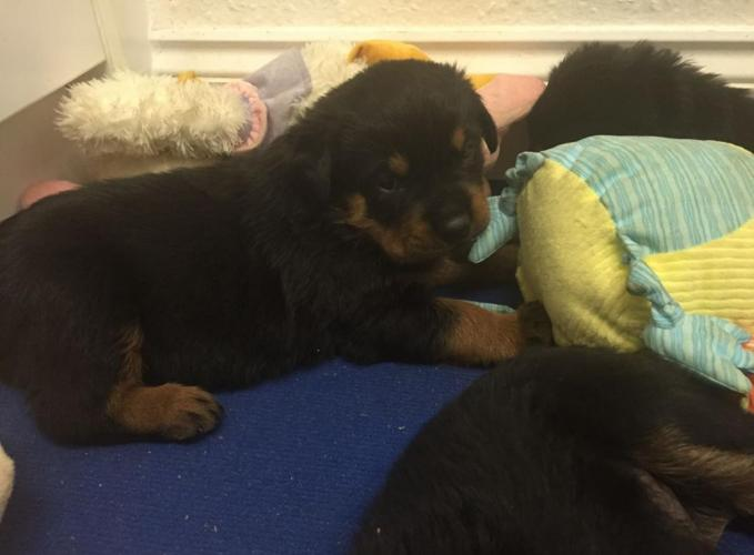 Registered Rottweiler Puppies For Sale In Montgomery Alabama
