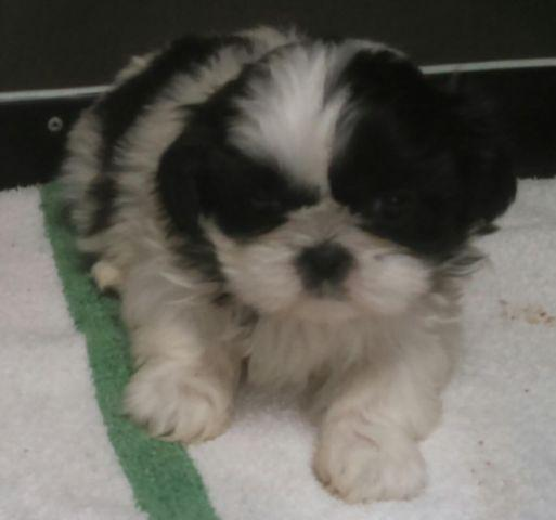 Registered Shih Tzu Puppy For Sale In Rosalia Kansas Classified