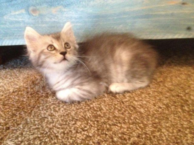 REGISTERED SILVER MAINE COON KITTEN