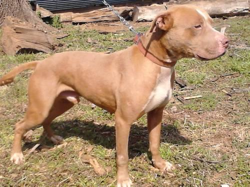 Bully Dog For Sale In Arkansas