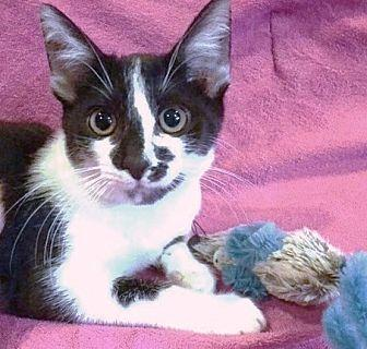 Remi Domestic Shorthair Kitten Male