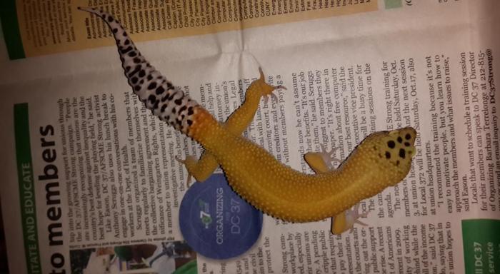 gecko bryster ekstra ark massa