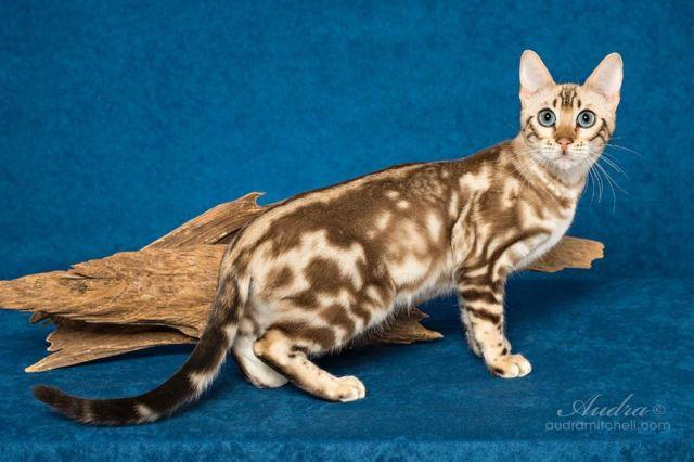 A Bengal Cat For Sale Retired adult female b...