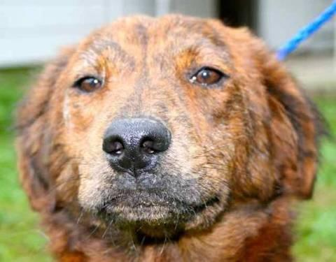Retriever - Grace - Medium - Adult - Female - Dog