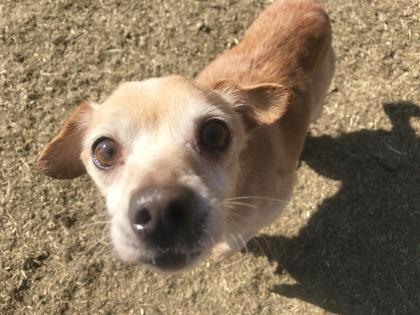 Teacup Chihuahua For Sale In Kokomo Indiana Classifieds Buy And