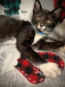 Rex Domestic Shorthair Kitten Male