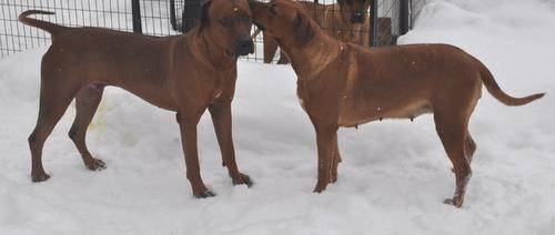 Rhodesian Ridgeback Puppy for Sale - Adoption, Rescue