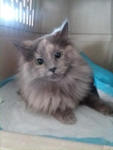 Rianna Maine Coon Baby - Adoption, Rescue for Sale in