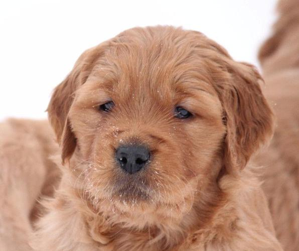 Rich Red Golden Retriever Puppies For Sale In Bloomingdale