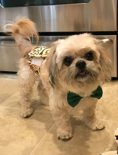 Ricky Shih Tzu Adult Adoption Rescue For Sale In Lexington