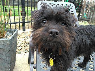 Riley Chewy Affenpinscher Puppy Male For Sale In Lodi California