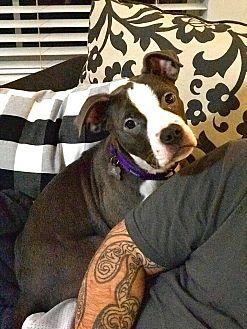 Rina American Staffordshire Terrier Puppy Female
