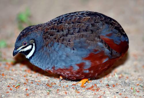 Doves: Ringnecks, Capes, Zebras, and Button Quail