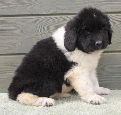 Newfoundland Puppy Pets And Animals For Sale In Archbold Ohio