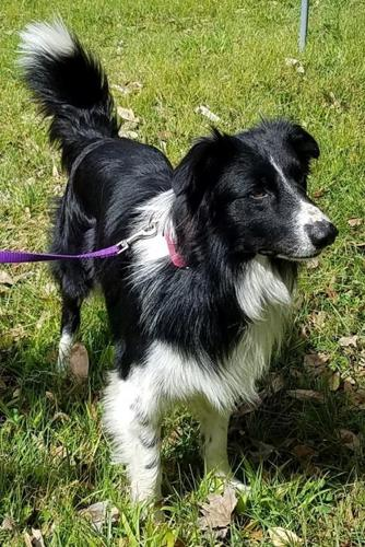 Rocket Border Collie Adult - Adoption, Rescue for Sale in