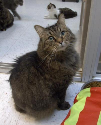 Rocky Balboa Maine Coon Senior - Adoption, Rescue for Sale