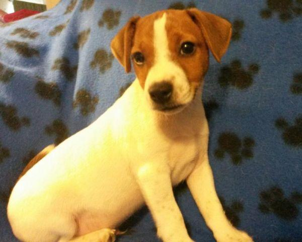 ☆☆Rocky-Purebred Jack Russell Puppy☆☆