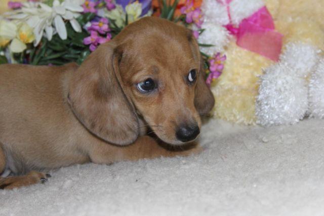 ROCKY shaded creme dapple short hair mini dachshund, 9 weeks old